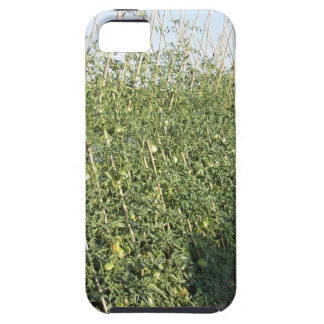 Unripe green tomatoes in the garden iPhone 5 covers