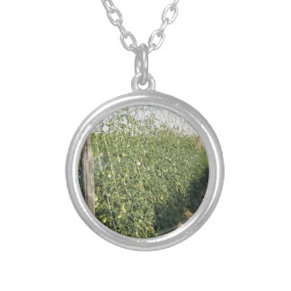 Unripe green tomatoes in the garden silver plated necklace