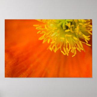 Upclose of an Orange Poppy Flower Poster