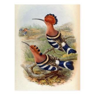 Upupa Nigripennis (Indian Hoopoe) Postcard