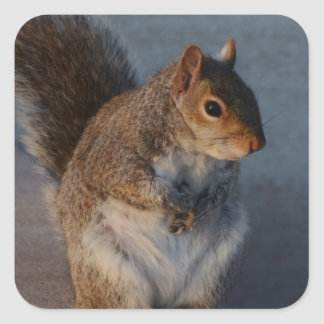 Urban Squirrel. Square Stickers