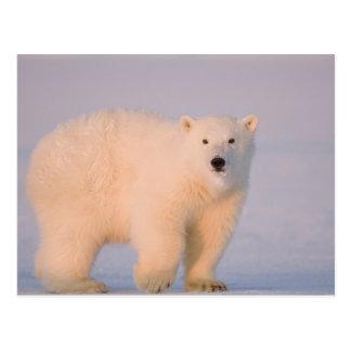 USA, Alaska, 1002 Coastal Plain of the Arctic 2 Postcard