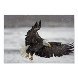 USA, Alaska, Alaska Chilkat Bald Eagle Poster