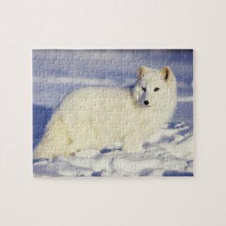 USA, Alaska. Arctic fox in winter coat. Credit Puzzle