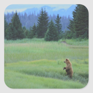 USA, Alaska, Clark Lake National Park. Grizzly Square Sticker