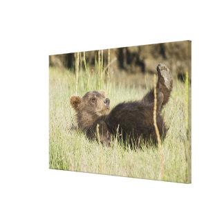 USA. Alaska. Coastal Brown Bear cub at Silver 2 Stretched Canvas Print