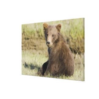 USA. Alaska. Coastal Brown Bear cub at Silver 3 Gallery Wrapped Canvas