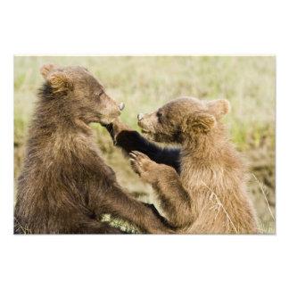 USA Alaska Coastal Brown Bear cubs at Silver Photo Print