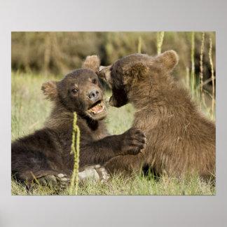 USA. Alaska. Coastal Brown Bear cubs at Silver Poster