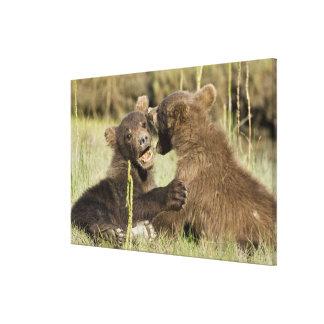 USA. Alaska. Coastal Brown Bear cubs at Silver Stretched Canvas Print