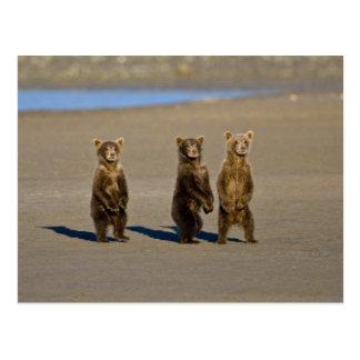 USA. Alaska. Coastal Brown Bear cubs watch their Postcard