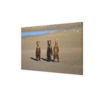 USA. Alaska. Coastal Brown Bear cubs watch their Stretched Canvas Print