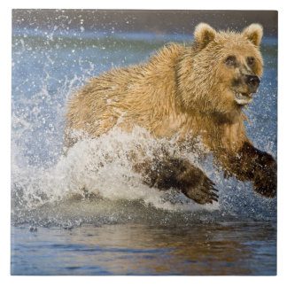 USA. Alaska. Coastal Brown Bear fishing for 2 Ceramic Tile