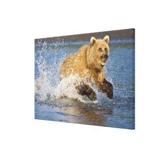 USA. Alaska. Coastal Brown Bear fishing for 2 Stretched Canvas Print