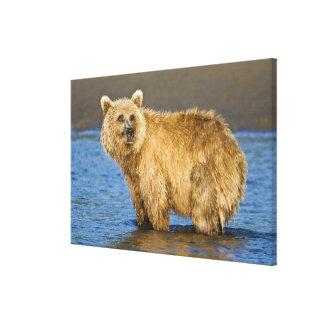 USA. Alaska. Coastal Brown Bear fishing for Stretched Canvas Prints