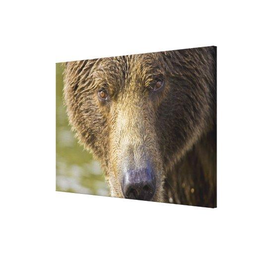 USA. Alaska. Concentration-A coastal brown bear Stretched Canvas Prints