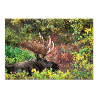 USA, Alaska, Denali National Park, Bull Moose Photo Print