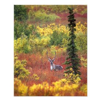 USA, Alaska, Denali National Park. Caribou and Art Photo