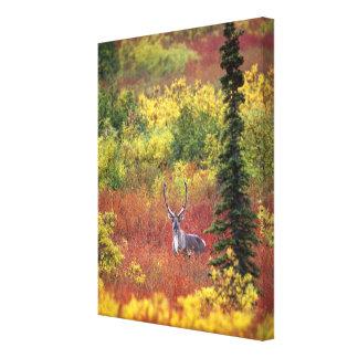 USA, Alaska, Denali National Park. Caribou and Gallery Wrapped Canvas