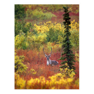 USA, Alaska, Denali National Park. Caribou and Postcard