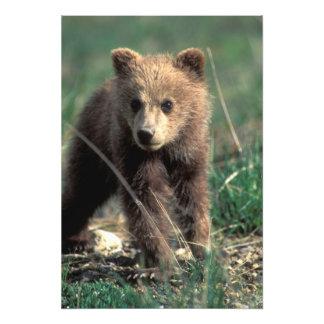USA, Alaska, Denali National Park, Grizzly Photo Art