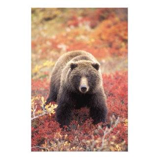 USA, Alaska, Denali NP, female Grizzly Bear Art Photo