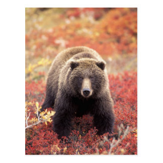 USA, Alaska, Denali NP, female Grizzly Bear Postcard