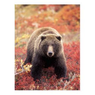 USA Alaska Denali NP female Grizzly Bear Postcards