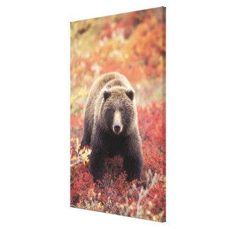 USA, Alaska, Denali NP, female Grizzly Bear Stretched Canvas Print