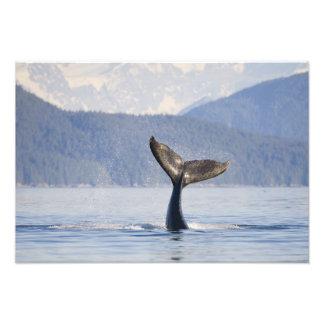 USA, Alaska, Icy Strait. Humpback Whale calf Photographic Print