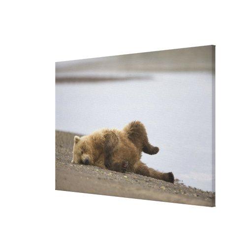 USA, Alaska, Katmai National Park, Brown Bear 2 Stretched Canvas Prints