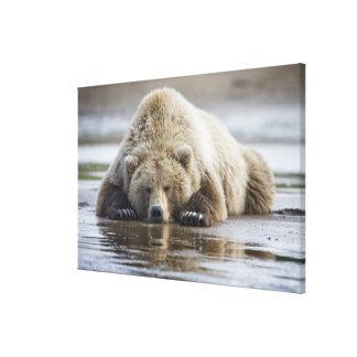 USA, Alaska, Katmai National Park, Brown Bear 4 Canvas Print