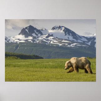 USA, Alaska, Katmai National Park, Brown Bear 5 Poster