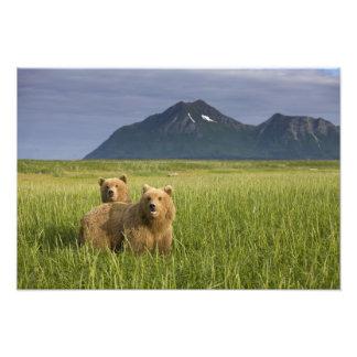 USA, Alaska, Katmai National Park, Brown Bears Photo Art