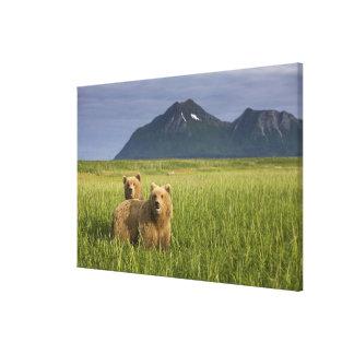USA, Alaska, Katmai National Park, Brown Bears Stretched Canvas Print