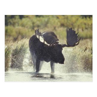 USA, Alaska, Katmai NP Moose shower Postcard