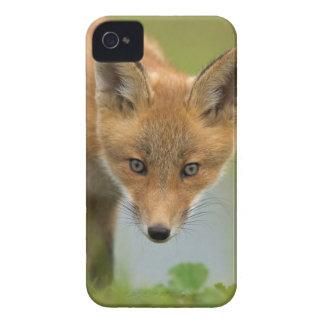 USA, Alaska, McNeil River. Red Fox. 4 iPhone 4 Case-Mate Case