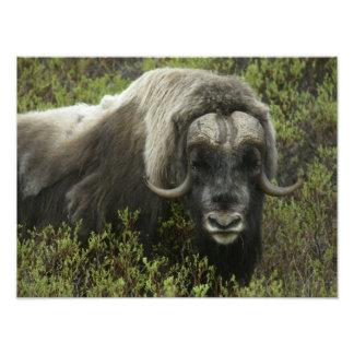 USA, Alaska, Nome. Close-up of musk ox Photo Print