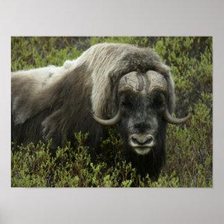 USA, Alaska, Nome. Close-up of musk ox Poster