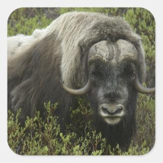 USA, Alaska, Nome. Close-up of musk ox Square Sticker