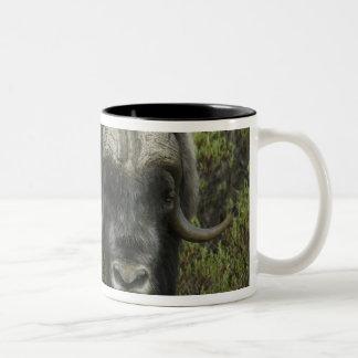 USA, Alaska, Nome. Close-up of musk ox Two-Tone Mug