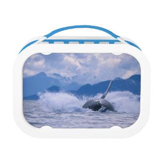 USA, Alaska, Tongass National Forest, Humpback 4 Lunch Box