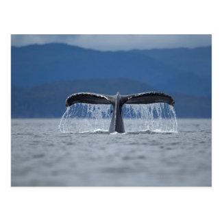 USA, Alaska, Tongass National Forest, Humpback Postcard