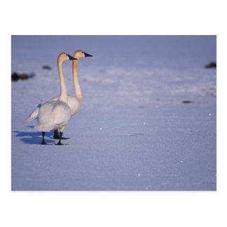 USA, Alaska, whistling swan adults, central Postcard