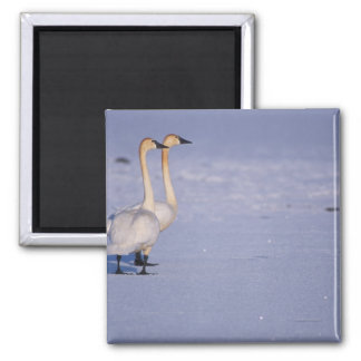 USA, Alaska, whistling swan adults, central Square Magnet
