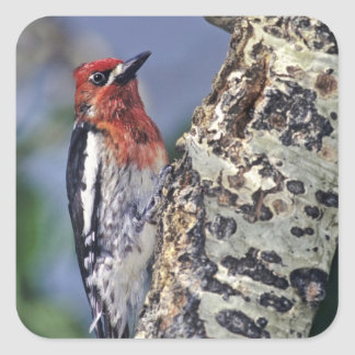 USA, California, Eastern Sierras, Lee Vining. Square Sticker