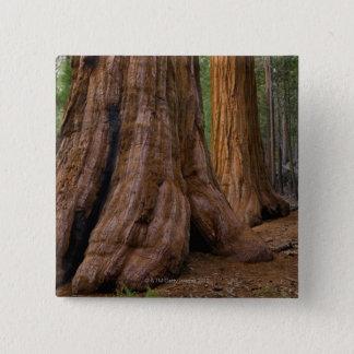 USA, California, Giant Sequoia tree 15 Cm Square Badge