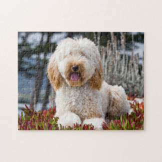 USA, California. Labradoodle Lying In Ice Plant Jigsaw Puzzle