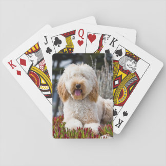 USA, California. Labradoodle Lying In Ice Plant Poker Deck