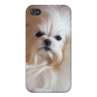USA, California. Maltese Lying Down Cases For iPhone 4